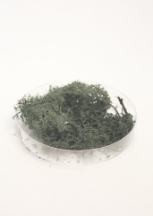 Reindeer moss sample.